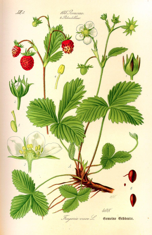 Strawberry botanical illustration. Botanical print. Strawberry ...