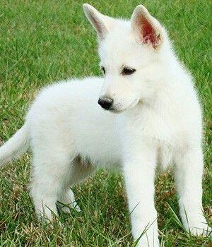 American White Shepherd picture