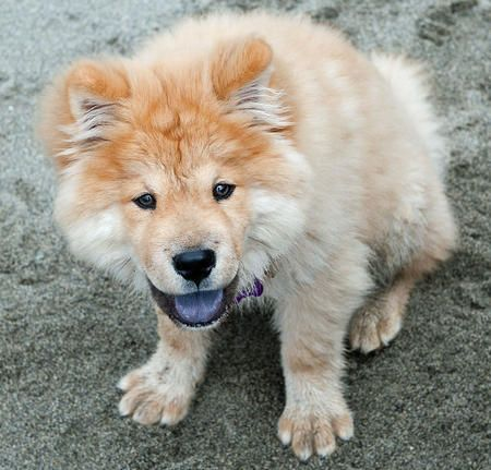 Oliver The Chow Mix Pomeranian Puppy Puppies Dogs And Puppies