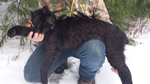 Rare Black Bobcat Finds New Home At New Brunswick Museum Black