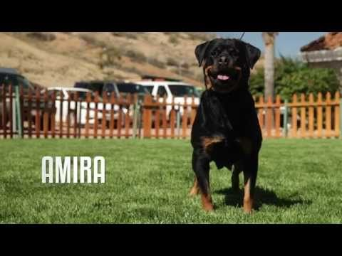 Professional Rottweiler Breeder Explains Difference Between German