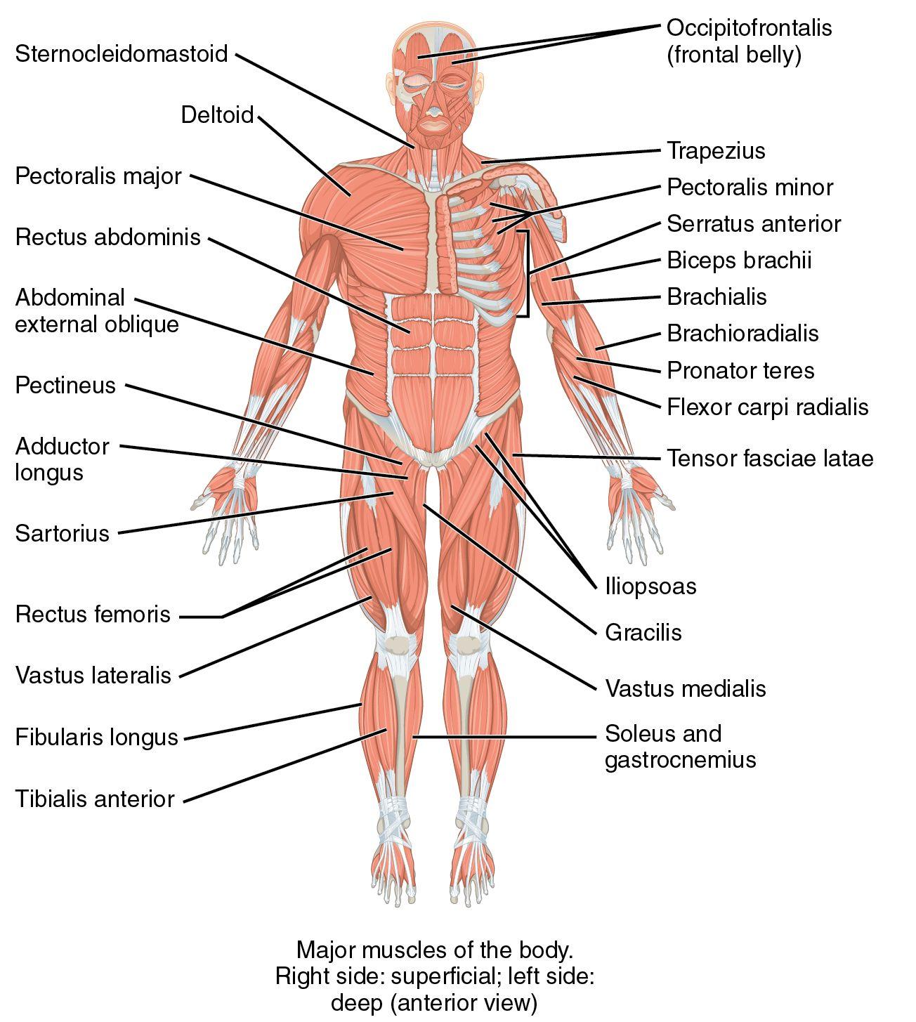 Ihmiskehossa On Yli 600 Lihasta Kaikkia Niista Ei Pystyta Tahdonalaisesti Hallitsemaan Human Body Lesson Human Body Lesson Plans Skeletal And Muscular System