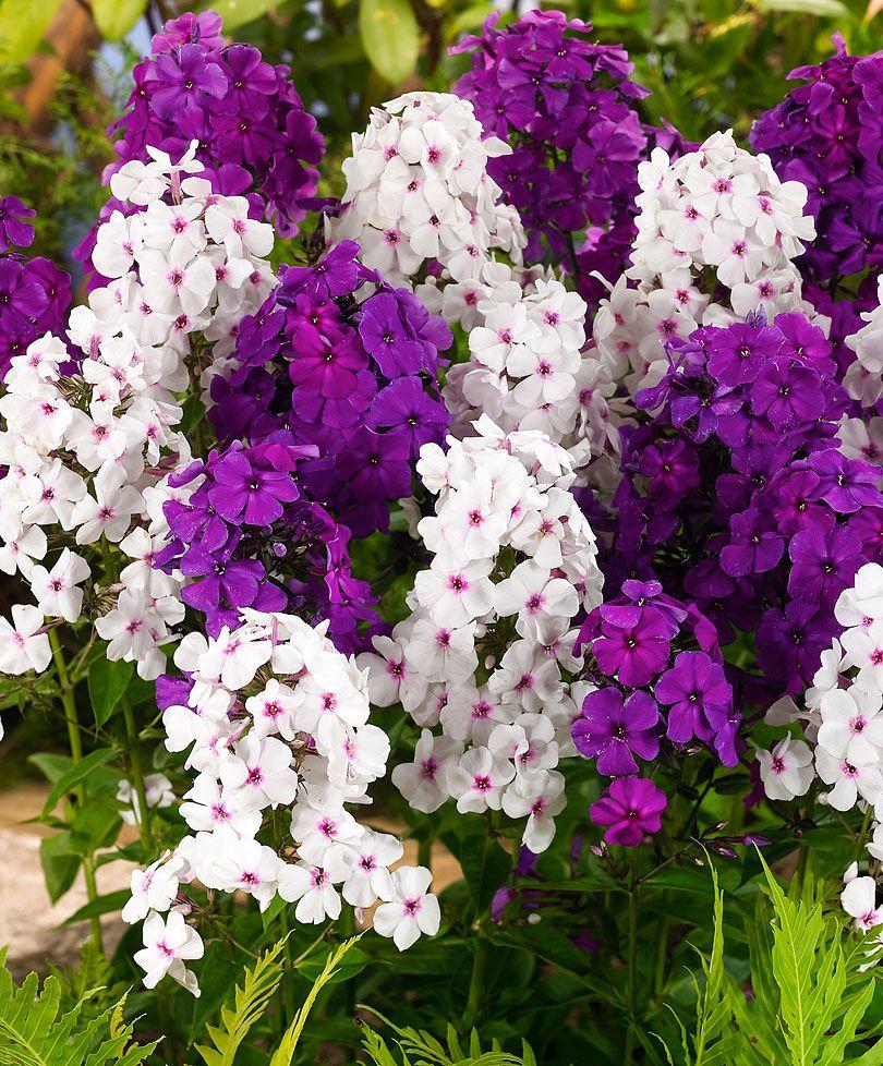 Pianta Fiori Viola.Phlox Mixed Plants From Bakker Spalding Garden Company Fiori