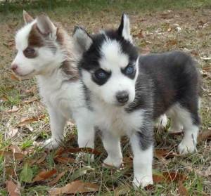 Miniature Husky Dog Breed Health, Training, Feeding, Puppies and Temperament - PetGuide #miniaturehusky