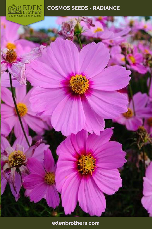 Cosmos Radiance Seeds Cosmos Flowers Flower Seeds Pink Flowers