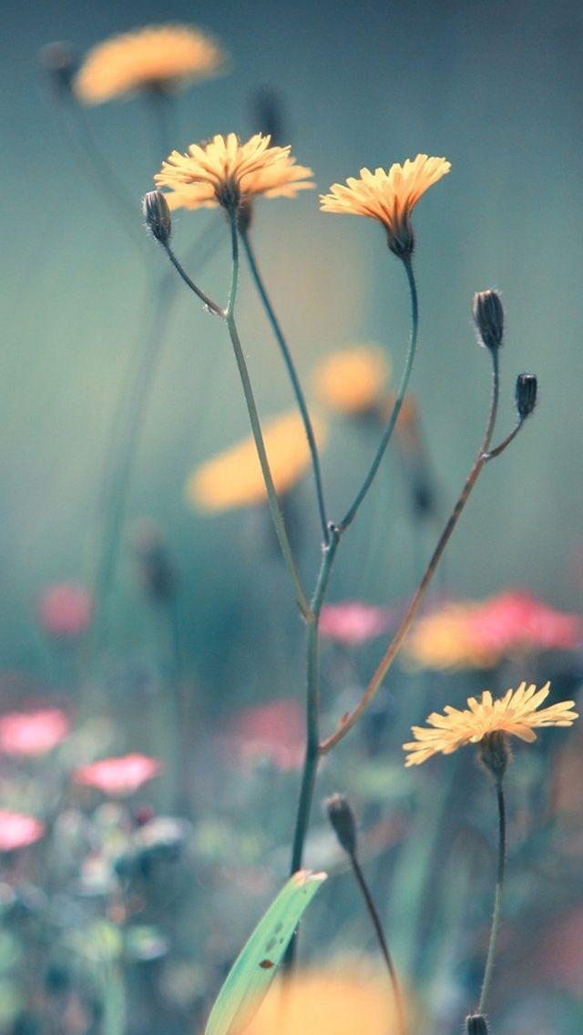 UZY p White Dandelion Wallpapers p White Dandelion