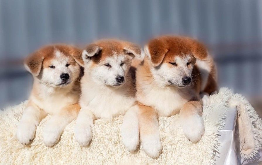 Japanese Dog Names 255 Cute Dog Names Dogmale Part 2 In 2020 Cute Names For Dogs Japanese Dogs Dog Names