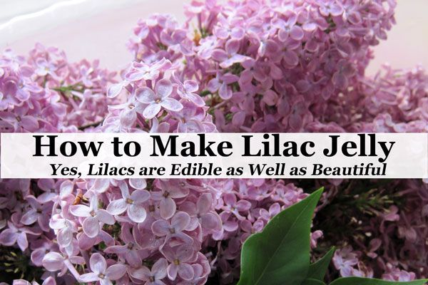 How To Make Lilac Jelly Yes Lilacs Are Edible As Well As Beautiful Recipe Jelly Recipes Edible Edible Flowers Recipes