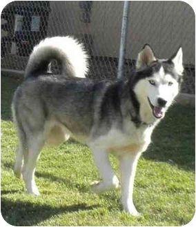 Newbury Park Ca Husky Meet Denver And Aspen A Dog For Adoption With Images Dog Adoption Funny Cats And Dogs Newbury Park