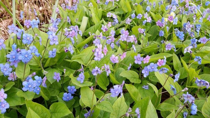 Kevätkaihonkukka kukkii ojan penkereellä?