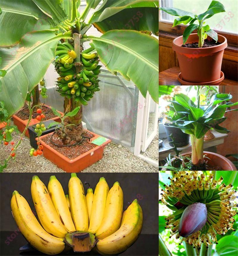 Mix Color Elongated Potted Banana Plants High-nutrition Fruits Original Package About 100 Pcs Bonsai Home & Garden Bonsai