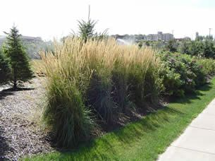 Karl foerster is an excellent example of a vertical full karl foerster is an excellent example of a vertical full ornamental grass workwithnaturefo