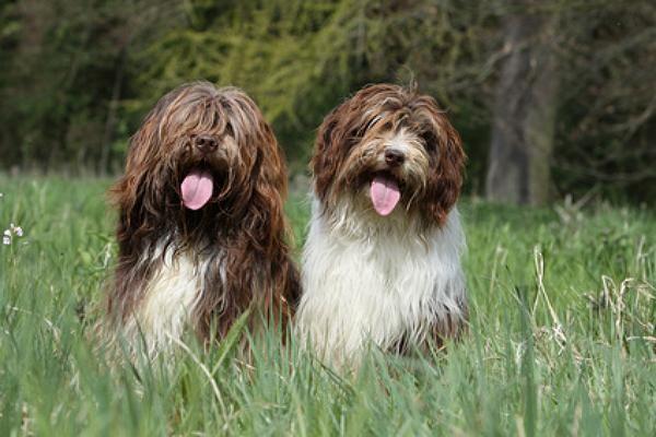 Schapendoes Welpen Kaufen Welpen Kaufen Welpen Hunde Fotos