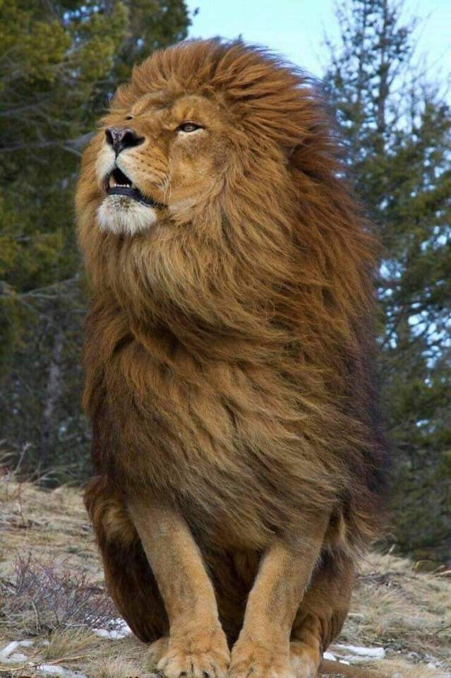 Image By Cheri Nelson On Wow Lion Pictures Majestic Animals Lion Wallpaper