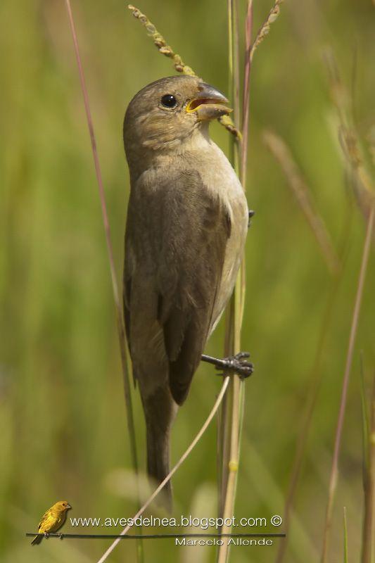Aves del Nea: Corbatita común (Double-collared Seedeater) Sporophila caerulescens ♀ | #argentina