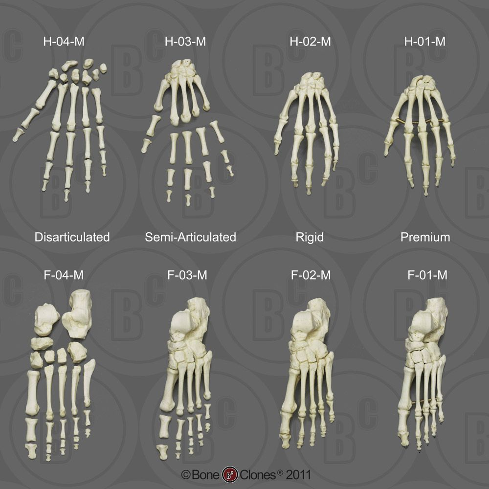 Human skeletal hands and feet human anatomy female