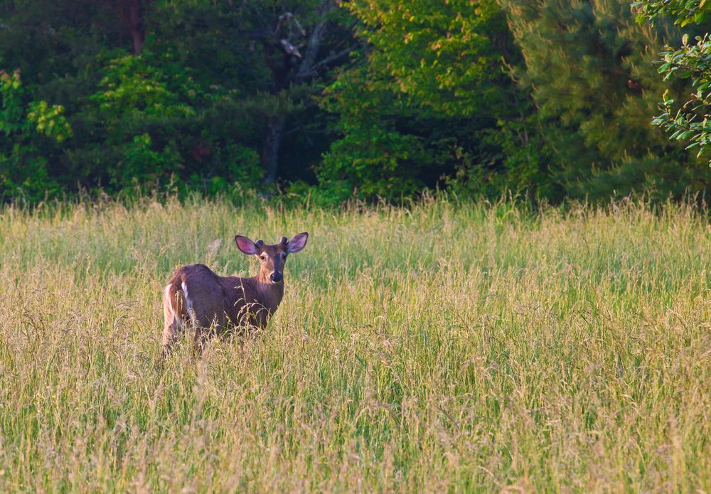 Beautiful white tailed deer budding antlers in the Smoky