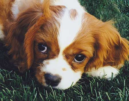 club de race du cavalier king charles