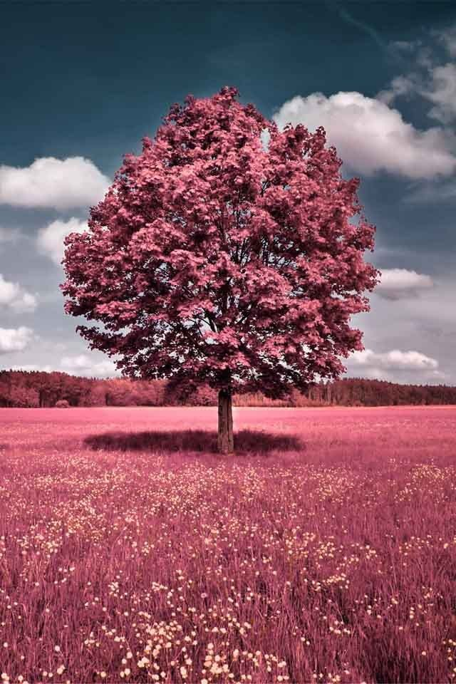 Candypink Scenery Landscape Photography Lovely Looking Coloured Tree Please Check Out My Website Thanks Www Photopix Co Nz Pink Pink Nature Spring Wal