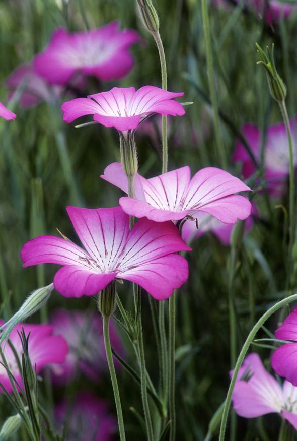 Wild Garden Flower Seeds INC FREE SEED OFFER UK SELLER Corncockle Pink