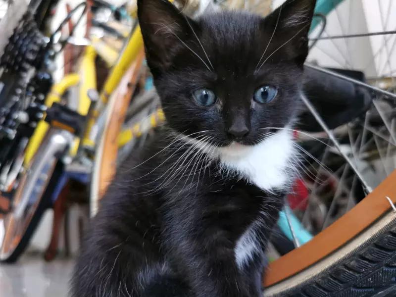 Ragdoll x (black with blue eyes) Cats & Kittens