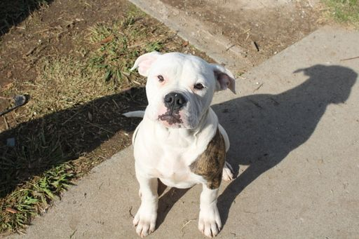 American Bulldog Puppy For Sale In Rio Linda Ca Adn 53567 On