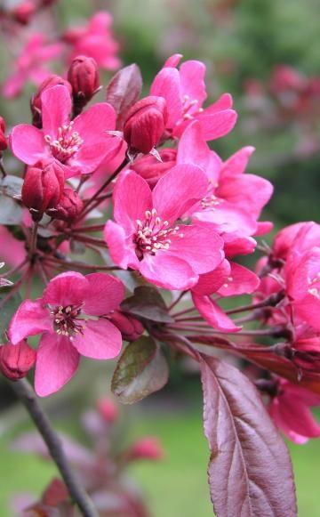 Zierapfel - Pflanzen, Pflege Und Tipps Sommer Blumen Pflanzen Pflege