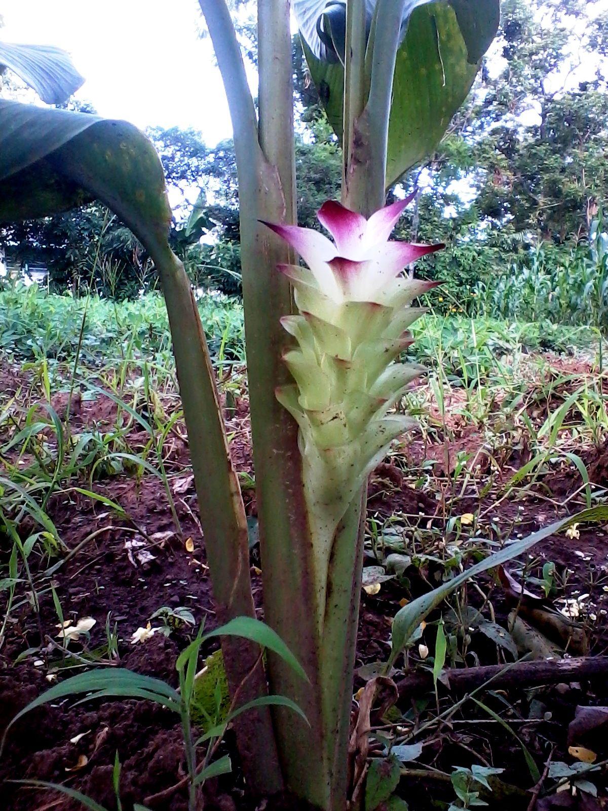 Turmeric Flower Turmeric Is From A Perennial Shrub Originating In