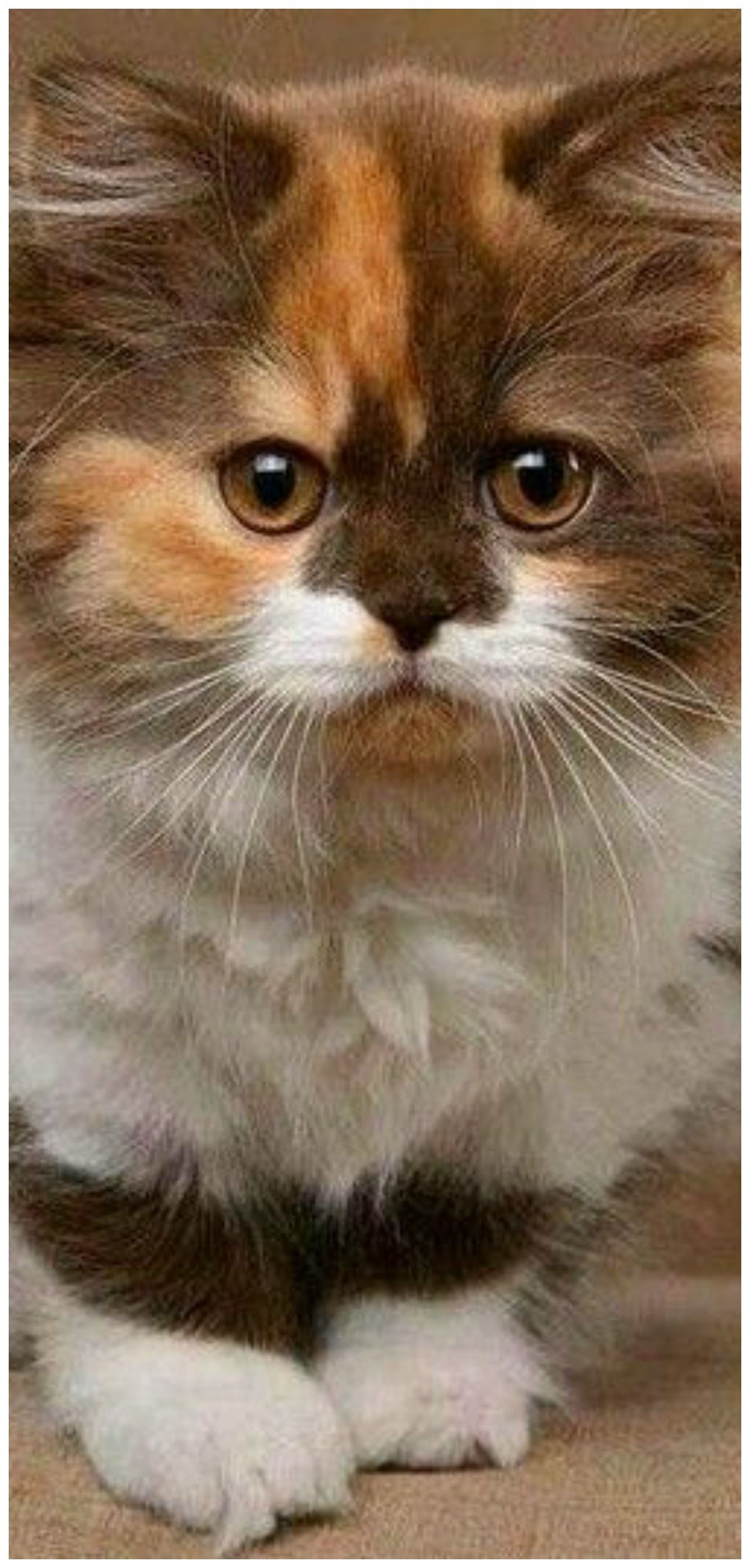 Pin by Linda Kitchen on my cat Beautiful cats, Cats and