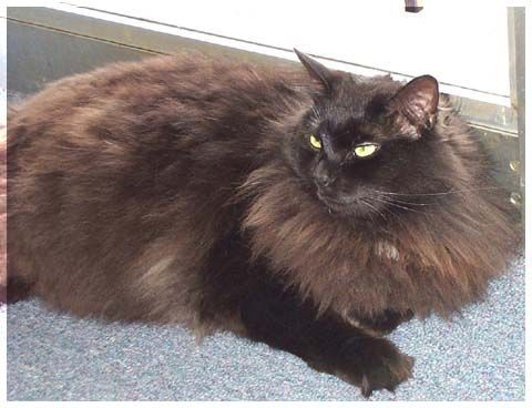 13  Most Popular Long Haired Cat Breeds | Cat, Maine  cats and ...