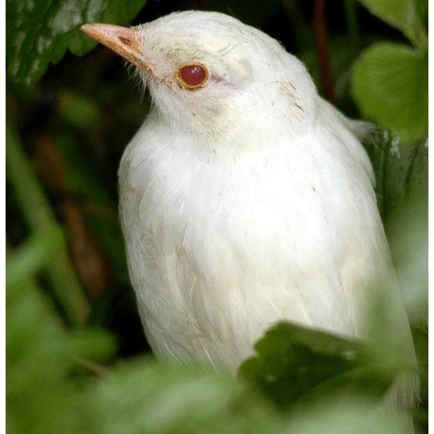 Albino Blackbird Albino Animals Albino Most Beautiful Animals