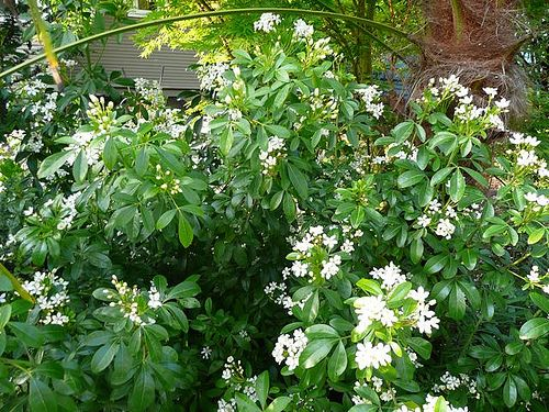 Choisya ternata mexican orange is a dense evergreen shrub mature choisya ternata mexican orange is a dense evergreen shrub mature height may range from 6 8 high and just as wide not only are the white 1 125 flowers mightylinksfo Image collections