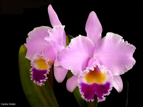 Cattleya Trianae Colombias National Flower A Parasite Not A