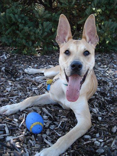 Pitbull Pitbullterrier Germanshepherd Mix Dog Dogmix