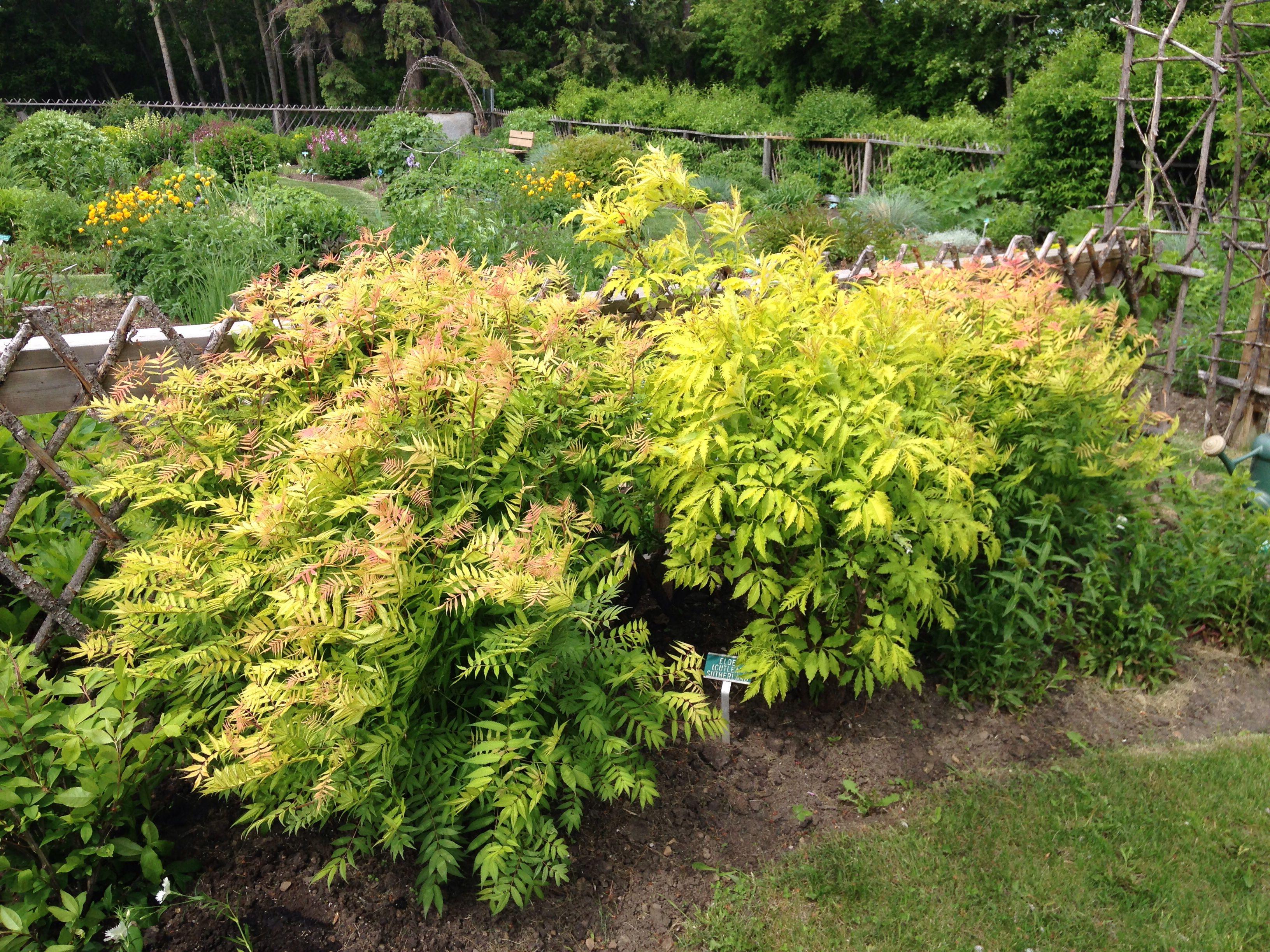 False Spirea Sem Landscaping Shrubs Landscape Projects Cool Plants