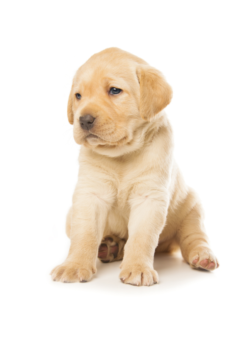 Cute Little Labrador Retriever Puppy Isolated Over White