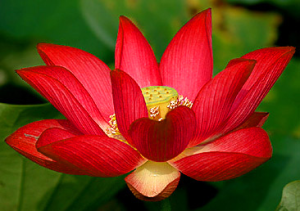 Excellent description of lotus color meanings in the