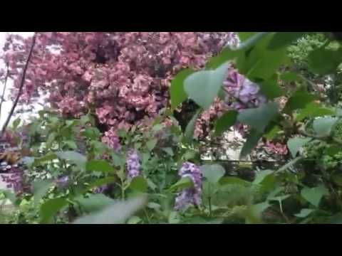 My pink crab apple tree and lilacs