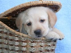 Cute Labrador Puppy Wallpaper With Images Cute Labrador