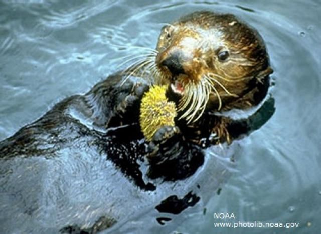 What Do Sea Otters Eat Normally?   Sea otter and Otters
