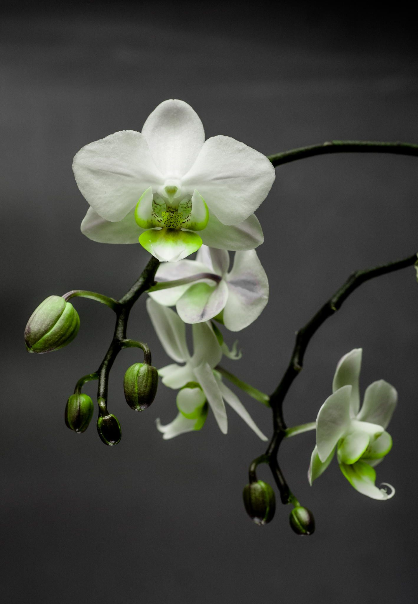 Green Orchid Green Orchid Orchid Photography Orchids