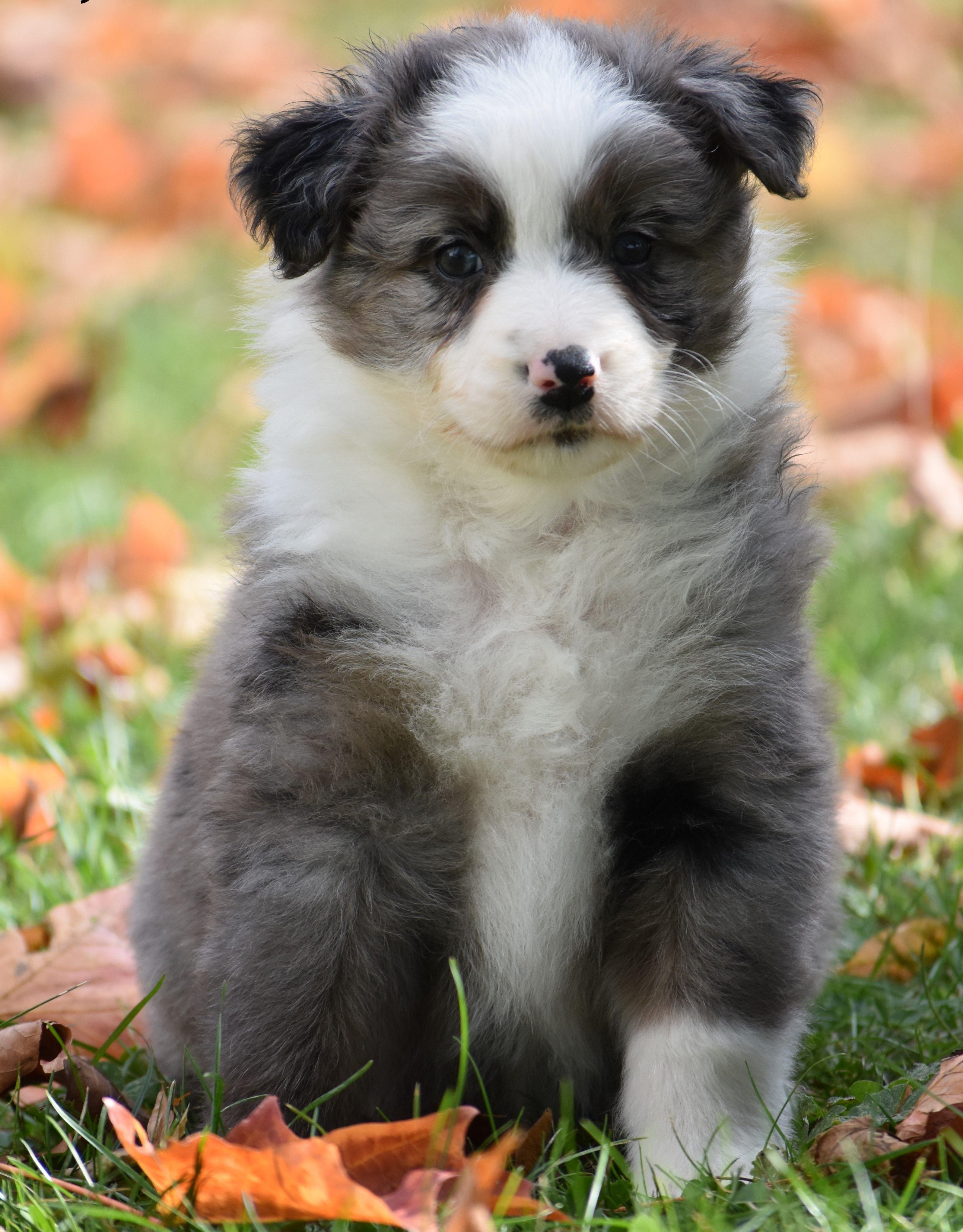 Jolly AustralianShepherd Australian shepherd puppies