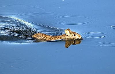 swamp rabbit species among the few rabbits who swim as a natural