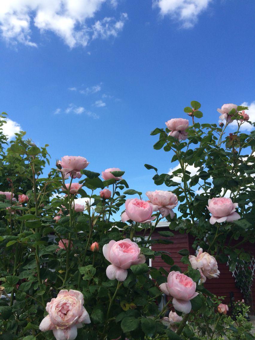 Flere roser...