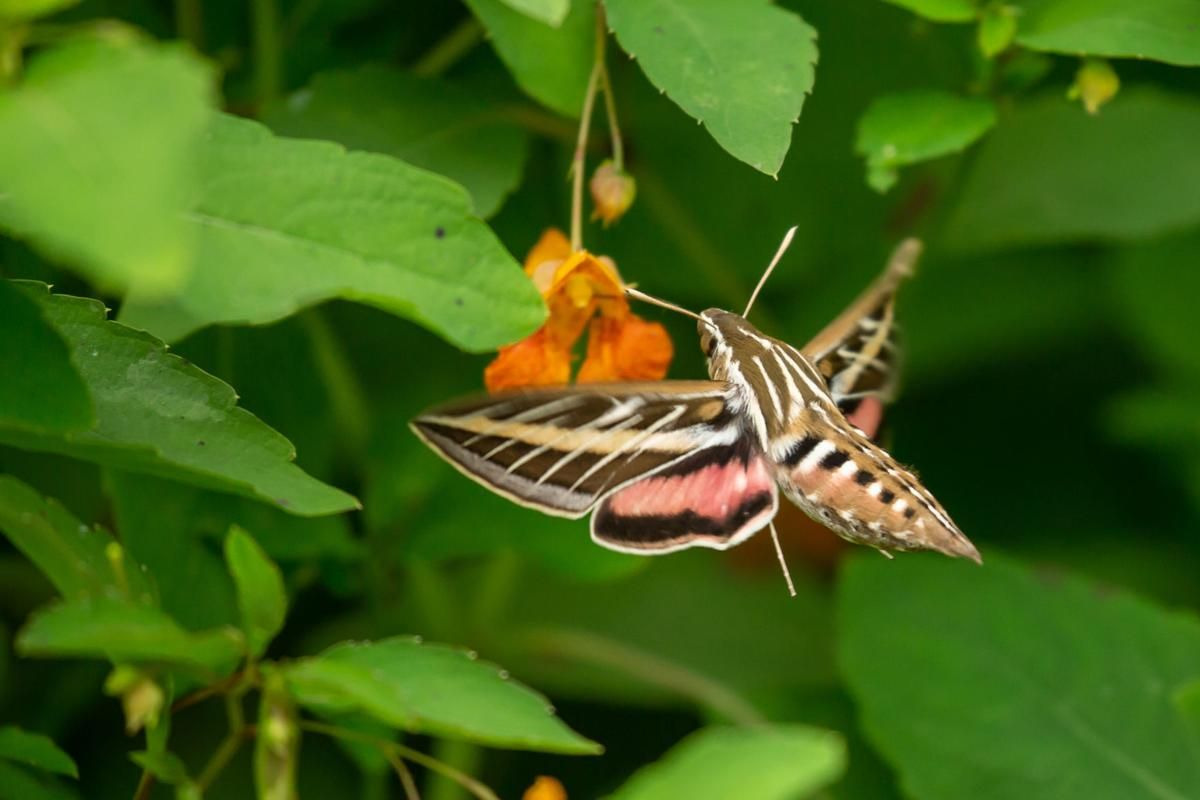 Sphinx moth Insect version of the hummingbird