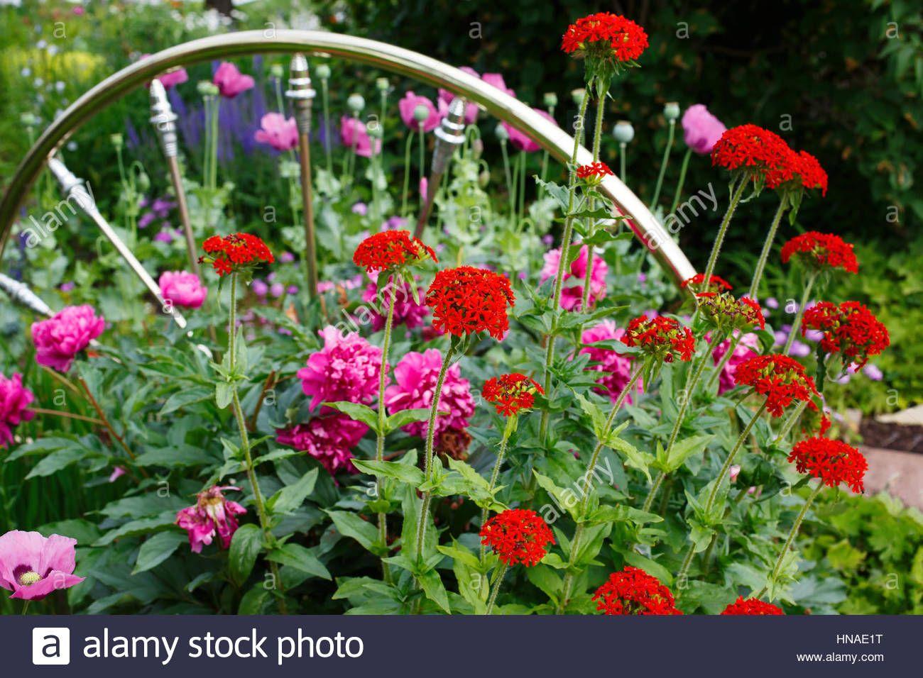 Flowering Maltese cross plants flowering in the summer