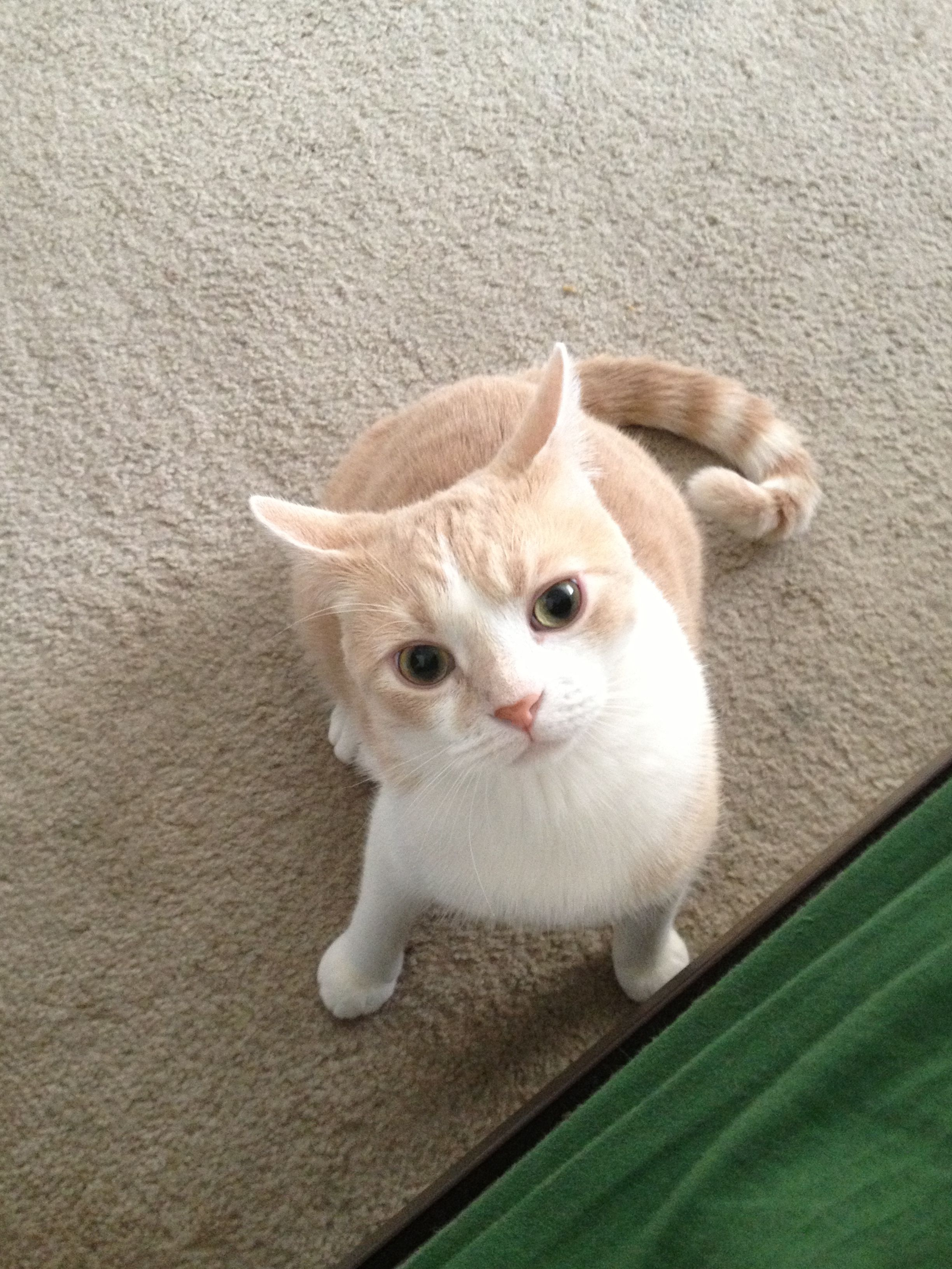 Orange Domestic Shorthair Cat Beautiful Cats Yellow Cat Orange Cats