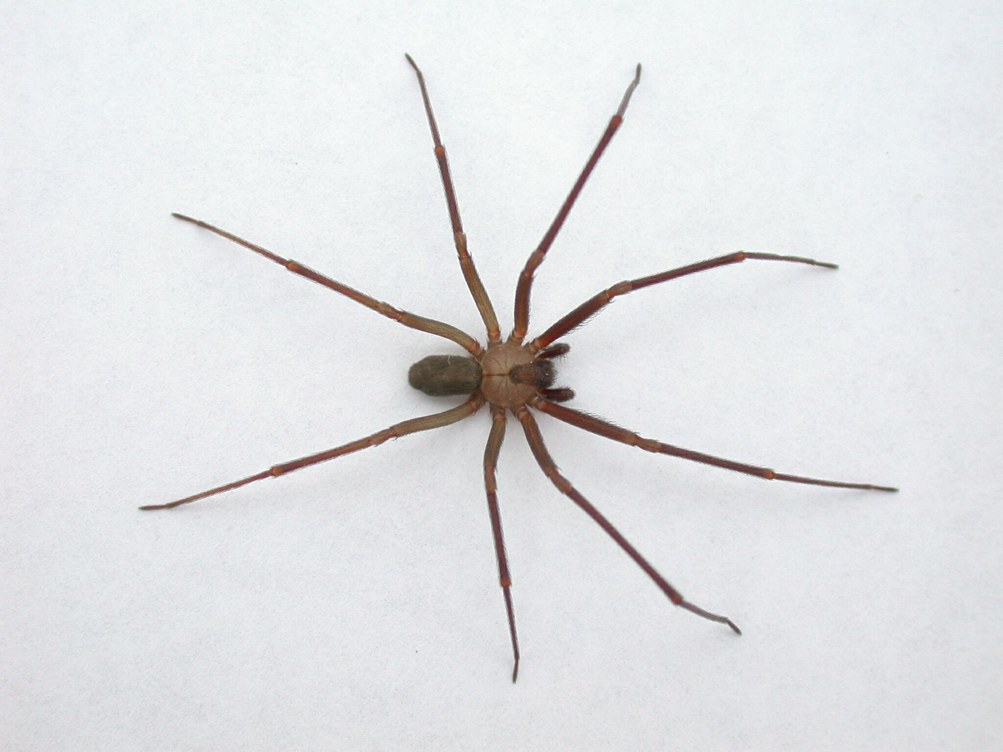 brown recluse spider and bite evidence brown recluse spider