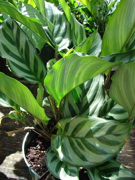 Calathea leopardina leaves by Forest and Kim Starr comfi home