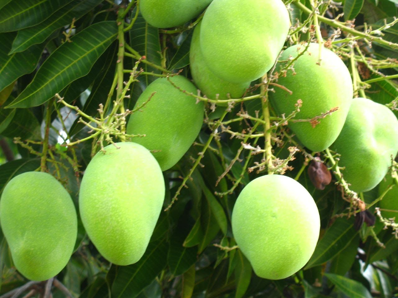 How To Grow Mango, How To Grow Mango Tree From Seed, Khmer Agriculture